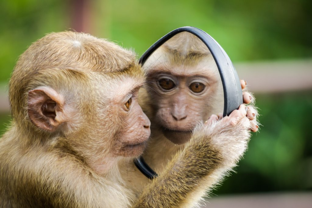 chimp looking in a mirror